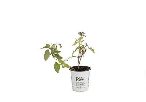Instant Karma Elderberry (Sambucus) Live Shrub, WhiteFlowers and Variegated Foliage,4.5 in. Quart