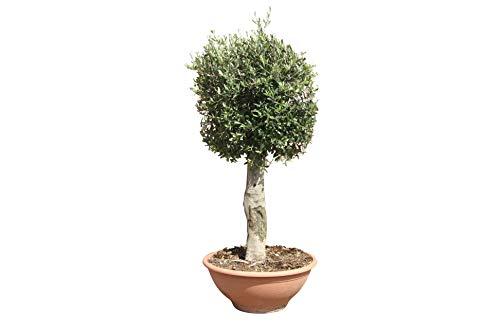 Olivenbaum - Olea europea - 150 cm - deco topf - Winterhart - Stammumfang 25-40cm