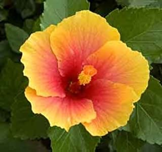 Amazoncom Sunshine Hardy Hibiscus Seeds 20 Seeds Garden