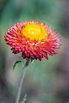 Semillas BloomGreen Co. Flor: Semillas de plantas de flor Siempreviva Seeds Inicio...