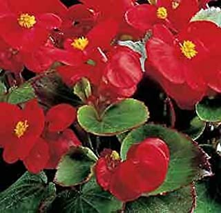 Best begonia ambassador scarlet Reviews
