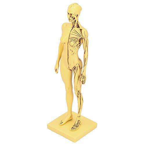 BHDD Stabiles Muskelmodell, verschleißfestes Muskelknochenmodell, tragbar für den Schulunterricht
