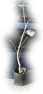【ライラック苗】白花ライラック苗 リラの木