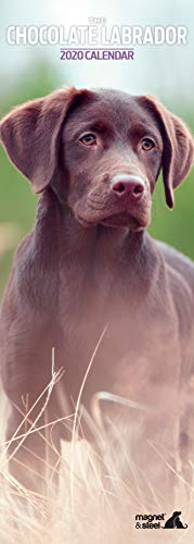 Kalender 2020 Labrador Chocolate Slim