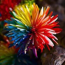 Fleur graines 50pcs nouveaux graines arc chrysanthème bonsaï fleur, maison jardinage bricolage, livraison gratuite!