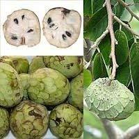 5 Samen von Cherimoya-Frucht RLP085 (Annona cherimola)