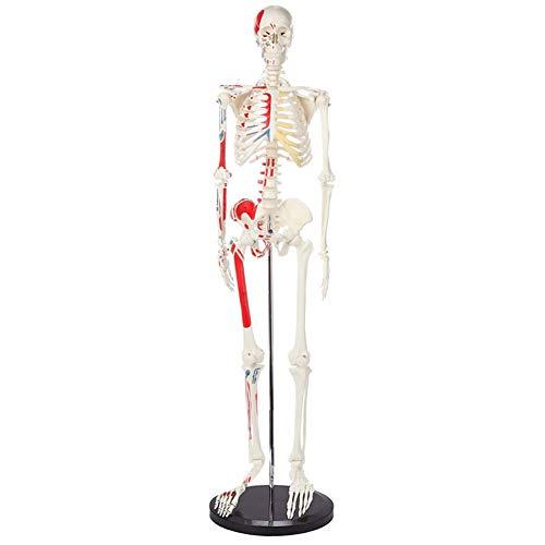 85 CM Flexibles menschliches Skelett Modell Muskeln bemaltes anatomisches Skelett Medizinisches Lehrmodell