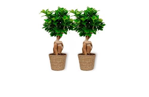 Ficus Ginseng – higo chino – Bonsái de interior en cesta beige – Altura +/- 25 cm incluye maceta – 12 cm de diámetro (maceta) – Fácil cuidado Bonsái Palme