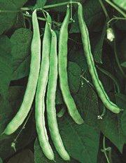 Malibu Pole Bean Seeds