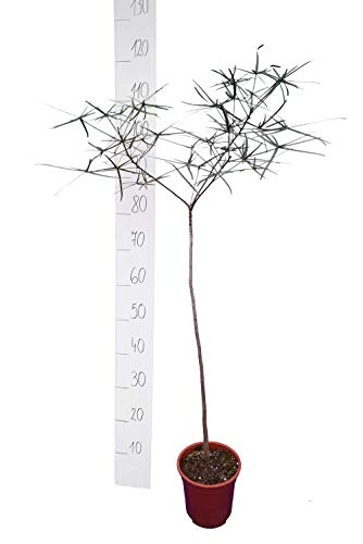 Flammenbaum - Brachychiton rupestris - 110-130cm - Stamm 60cm - Topf Ø 17cm