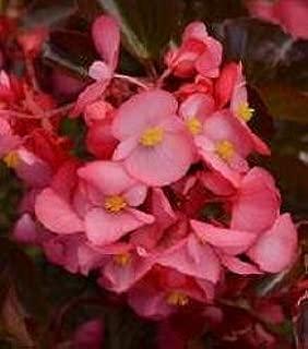 Hazzard's Seeds Begonia Megawatt Rose Brz Leaf 1,000 seeds