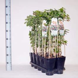 winterharte Heidelbeere (Blaubeeren) Pflanze, (Vaccinium corymbosum), Sorte: Pink Lemomade, kräftige Pflanzen, ca. 55cm hoch, im 14cm Topf (1 Stück, ca. 55cm hoch, im 14cm Topf)