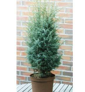 Heidewacholder Excelsa 40-60cm - Juniperus communis