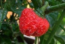 25+ Hand Ausgewählte Trinidad Scorpion Red Moruga Seeds-O 203