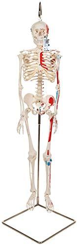 3B Scientific Menschliche Anatomie - Mini-Skelettmodell mit Muskelbemalung an Hängestativ + kostenloser Anatomiesoftware - 3B Smart Anatomy, A18/6