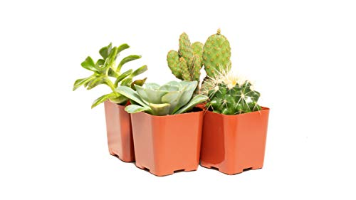 Cacti and Succulent Assorted Pack (4) - Decorate Your Home/Garden with A Variety of Healthy Live Succulent Plants by Jiimz