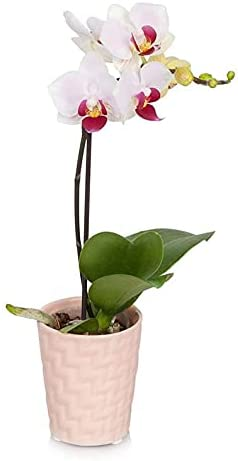 Latest item From You Flowers - Pink Princess Free Mini Orchid Pot Indianapolis Mall Included