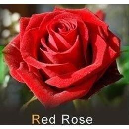 les colis noirs lcn Lot de 20 Graine Rose Rosier Rouge