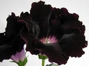 20 Samen / pack Hauptdekor Blumensamen Gloxinie Brokat (Mischen) Saatgut