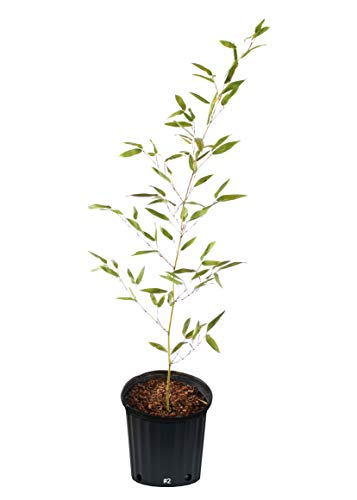 Cold Hardy Screening Bamboo - Phyllostachys Bissetii - 2 Gallon (2' -'3 Tall)