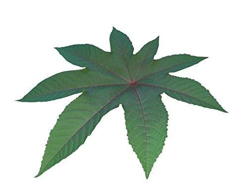 Ricinus Wunderbaum (Palma Christi) 10 Samen ***4-6 Meter im ersten Jahr***