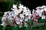 (内线壶)菊苣-芳香醉人的花园灌木,白色的花圆形簇生