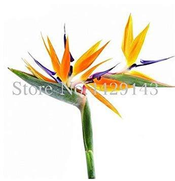 Potseed . 100 Stück Strelitzia Garten Stauden Blumen-Paradiesvogel Pflanze Strelitzia Indoor Orchideen-Blume blühende Pflanze: 15