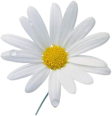 5800 Seeds - Shasta Daisy Perennial Sun Full Year-end Indianapolis Mall annual account