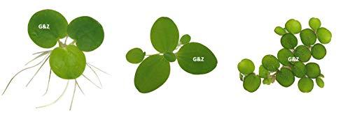 G'z Aquarium Floating Plants Package #1, 12 Amazon Frogbit, 12 Dwarf Water Lettuce, 12 Water Spangles