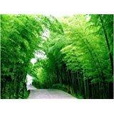 55 Samen Chinese Bambussamen, perfekte Zier DIY Hausgarten Pflanze, Essbare Bambussprossen,