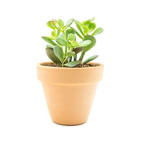 Planta de Jade con Maceta de Cerámica Altura 30cm Crassula Ovata Planta Natural de Interior y Exterior