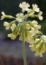JustSeed Hohe Schlüsselblume, Primula Elatior, Blumen, 100 Samen