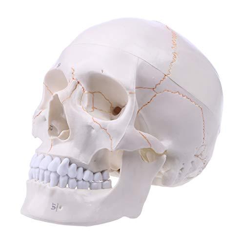 Nysunshine - Modelo de calavera humana de tamaño real, anatomía anatómica de cráneo hueso, modelo de hueso de cabeza de esqueleto médico, suministros de enseñanza