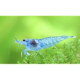 3 Blue Jelly Garnele - Hellblaue Zwerggarnelearnele - Neocaridina David