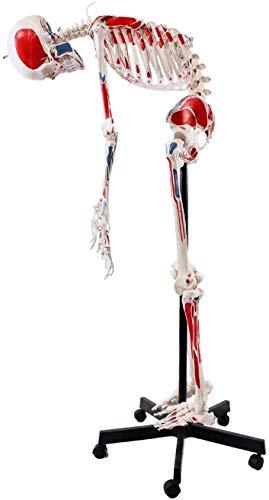 LBYLYH 180Cm Muskel Skelett-Modell Lebensgroß Mit Muskelbemalung,Ligamenten,Flexibler Wirbelsäule,Nummerierung, Anatomieposter Anatomie-Modell Als Lernmodell