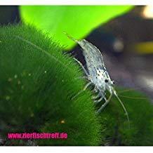 Zierfischtreff.de 10 x Amanogarnelen + 2 Mooskugel - Caridina multidentata BZW. Japonica der wahrscheinlich Beste Algenvernichter für jedes Aquarium
