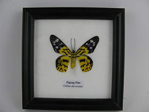 asiahouse24Zigzag Flat (Odina decoratus)–Verdadero Precioso y exotischer Mariposa en Vitrina, Marco de Madera–Enmarcado–Taxi dermy