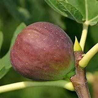 (1 Gallon) Texas Everbearing Fig Tree is a Medium-Sized, Bell Shaped, Brownish-Yellow fig Tree with Very Sweet Amber Flesh.