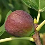Pixies Gardens (1 Gallon Texas Everbearing Fig Tree is A Medium-Sized Bell Shaped Brownish-Yellow Fig Tree with Very Sweet Amber Flesh.