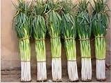 Semillas 100 piezas gigante chino cebolla verde cebolla semillas de hortalizas característica única de características gérmenes jardín Bonsai planta de bricolaje
