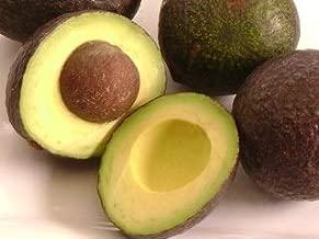 joey avocado tree
