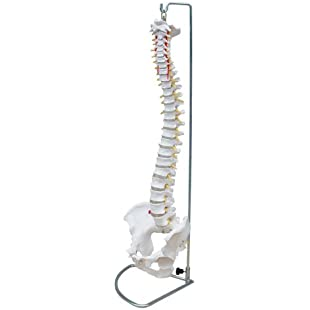 66fit Flexible Vertebral Column With Pelvis - Medical Educational Training Aid