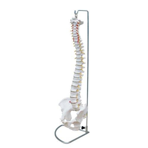 66FIT, Modello anatomico della Colonna vertebrale + Bacino