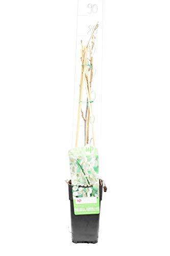Wunderschöne Kletterplanze - Japanischer WEIßER Blauregen - Wisteria floribunda Longissima Alba - 70-90cm Topf 2 Ltr.