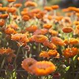 Calendula Rosa Überraschung Blumensamen (Calendula officinalis) 50 + Seeds (200+)