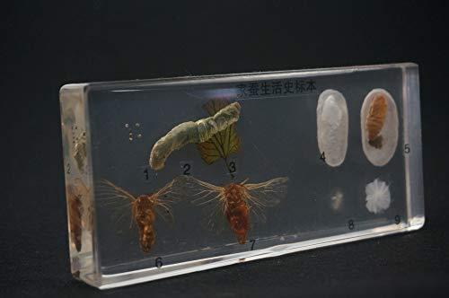 YAOHM levenscyclus van de zijderupsen specimens in helder Lucite educatief materiaal