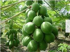 Bloom Green Co. 30 pcs doux Maradol Papaye bonsaïs d'extérieur comestible Tropical Juicy Fruit Jardin Heirloom Jardin Bio nain plantes d'arbres fruitiers: 5