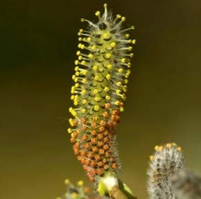 Kugelweide 40-60cm - Salix purpurea Nana