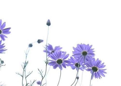 Charm4you Maceta para Plantas de jardín/Interiores,Semillas de Flores y césped crisantemo de Cinco Colores a Granel-Blue_100g,Ornamentales Semillas