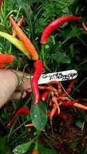Garda pétard Pepper Seeds! Belle ornement - peigne. S/H Voir notre magasin!